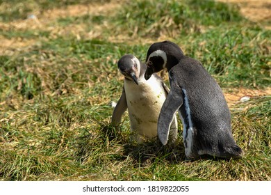 An adult and a young Magellanic Penguins on Magdalena Island, Chile.