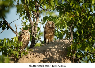 Adult and young owl. Spotted eagle-owl, Bubo africanus, are African owl in the nature habitat in  Etocha NP, Namibia, Africa. Night bird with tree forest habitat. Birdwatching in South Africa.