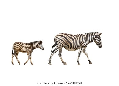 adult and young zebras on white background