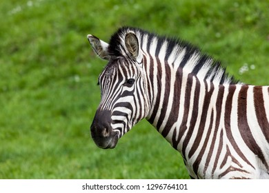 An adult zebra close up profile against a spring green grass background.