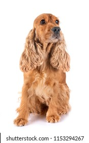 adulte cocker spaniel in front of white background