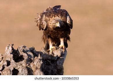 Adut female of Aquila chrysaetos. Golden eagle