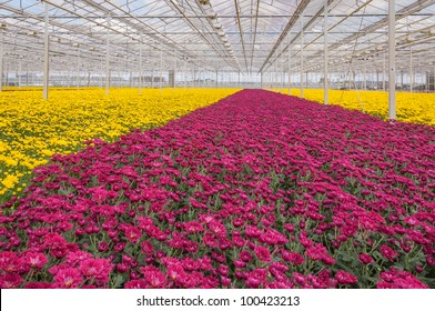 Advanced Dutch greenhouse with colorful Chrysanthemums ready for harvest.