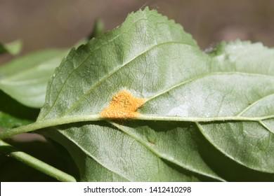 Aecia of Barley crown rust (Puccinia coronata) on green leaf of Rhamnus cathartica or Purging buckthorn, May, Belarus