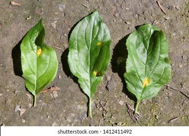 Aecia of Barley crown rust (Puccinia coronata) on green leaves of Rhamnus cathartica or Purging buckthorn, May, Belarus