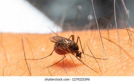 Aedes aegypti . Close up a Mosquito sucking human blood.
