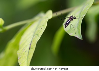 Aedes aegypti Mosquito. Close up a Mosquito on leaf,