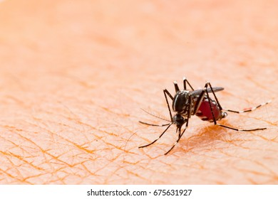 Aedes aegypti Mosquito. Close up a Mosquito sucking human blood.