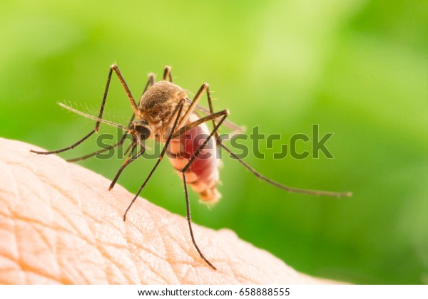 Aedes aegypti Mosquito. Close up a Mosquito sucking human blood,