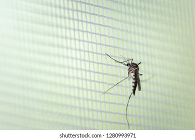 Aedes aegypti Mosquito on white mosquito wire mesh