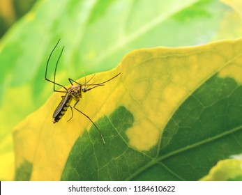 Aedes Aegypti Mosquito resting on the leaf in garden with copy space. Aedes is a genus of mosquitoes transmit serious diseases, including dengue fever, yellow fever, the Zika virus and chikungunya.