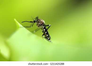 The Aedes japonicus, mosquito