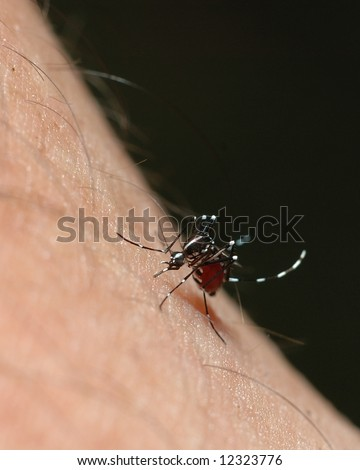 Aedes mosquito or dangue fever mosquito or yellow fever mosquito