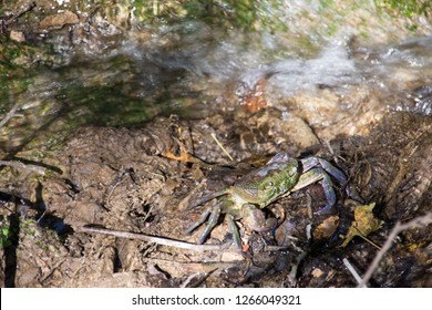 Aegean freshwater crab in a creek in the valley of butterflies at Rhodes