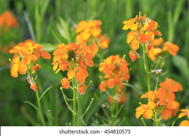 Aegean wallflower, common wallflower, Erysimum cheiri