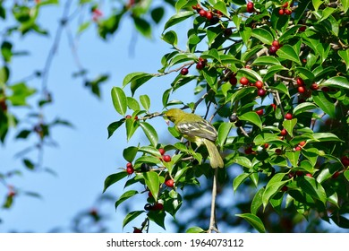 Aegithina viridissima bird enjoy eating fruit of banyan tree (food of birds and various animals in tropical rainforest) in nature in Thailand
