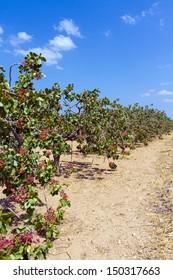 Aegna island Pistachio trees plantation