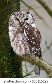 Aegolius funereus, Boreal Owl, vertical photo of owl, perched on spruce branch..