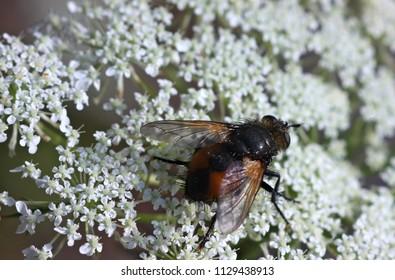 Aegopodium podagraria and fly