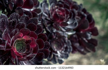 Aeonium arboreum, the tree aeonium, tree houseleek, or Irish rose, is a succulent, subtropical subshrub in the flowering plant family Crassulaceae.