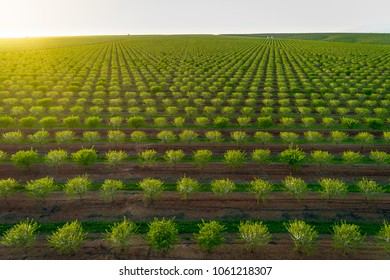 Aereal views of almond tree plantation in Alentejo,  south of Portugal