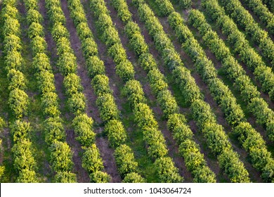 The aerial or bird view on orchard of orange trees. Sunset time