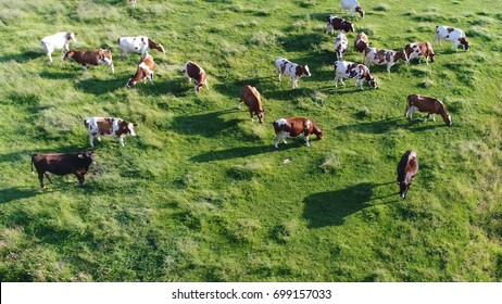 Aerial bird view photo above meadow with red Holstein Friesians cattle grazing grass showing their long shadows from sundown in grass field these cows are usually used for dairy production
