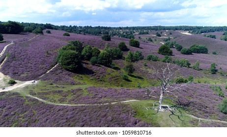 Aerial bird view photo dead tree and flowering heathland bright purple vegetation color heathland is favoured where climatic conditions are typically hard and dry particularly in summer