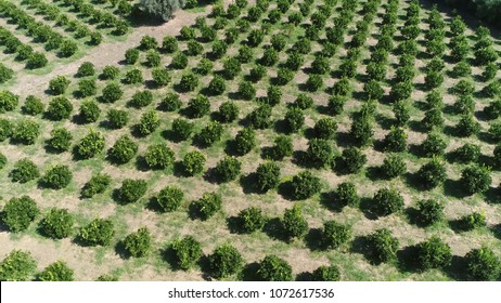 Aerial bird view picture of Citrus orchard genus of flowering trees these genus produce citrus fruits including important crops like oranges lemons grapefruit pomelo and limes