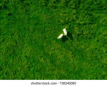 Aerial birdseye sheep standing in green field in England, united kingdom