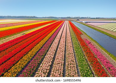 Aerial from blossoming tulip fields in the Netherlands