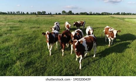 Vue aérienne du bétail laitier