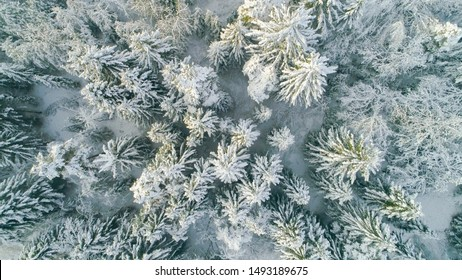AERIAL CLOSE UP TOP DOWN: Flying over white spruce trees covered in fresh snow on sunny winter day. Misty mixed forest after snowing in stunning winter. Deep snowy winter forest wrapped in mist