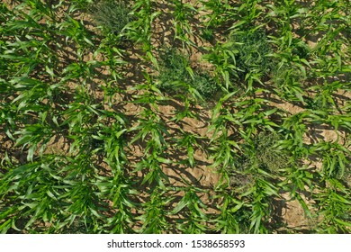 Aerial drone top down view on young green corn plants on cornfield with unwanted weeds