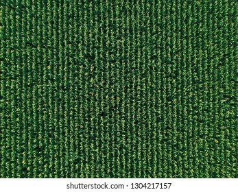 Aerial drone top view of cultivated green corn field, abstract texture of agricultural plantation from above