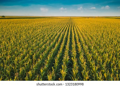 Aerial drone view of cultivated green corn field landscape