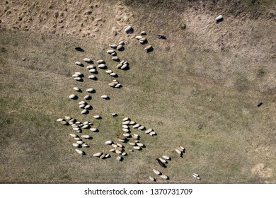 Aerial drone view of herd of sheep grazing in a meadow in the spring