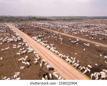 Aerial drone view of many oxen grazing on sunny summer day on feedlot cattle farm in Amazon, Para, Brazil. Concept of agriculture, environment, ecology, economy, exportation and meat production.