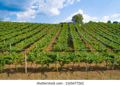 Aerial drone view on vineyard plantation in northern Italy. Red dark wine grapes on tree on grapes plantation in Italy