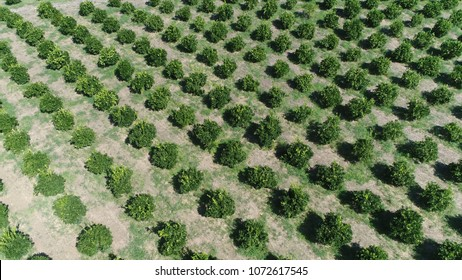 Aerial drone view photo of Citrus orchard genus of flowering trees these genus produce citrus fruits including important crops like oranges lemons grapefruit pomelo and limes