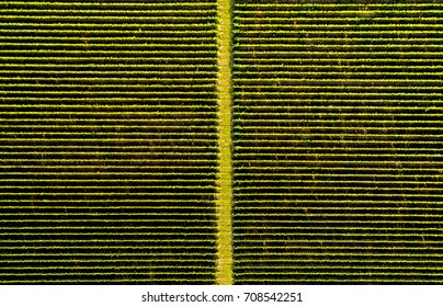 Aerial flat top view of a vineyard road in autumn