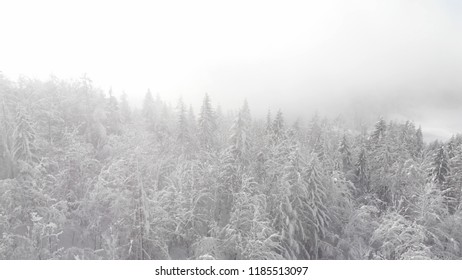 AERIAL: Flying up and above the towering snow covered spruce tree canopies. Cinematic shot of the misty coniferous forest after a blizzard. Winter fairytale nature with foggy forest covered in snow.