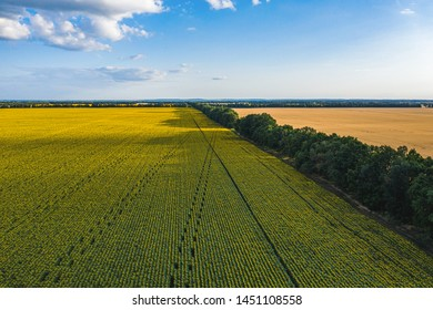 Aerial Flying over Blooming yellow sunflowers field with blue cloudless sky. Sunflowers field under blue sky with white fluffy clouds. Wonderful drone photo for ecological concept