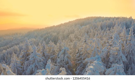 AERIAL: Golden evening sunlight shines on the snow covered coniferous forest spread across the spectacular mountains. Idyllic aerial shot of snowy treetops at sunrise. Flying over wintry wilderness.
