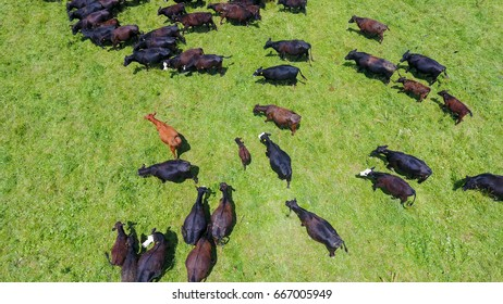 Aerial image of cattle in a green pasture in a farm in central Illinois, United States