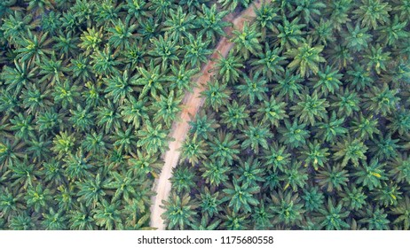 Aerial image of Palm Plantation