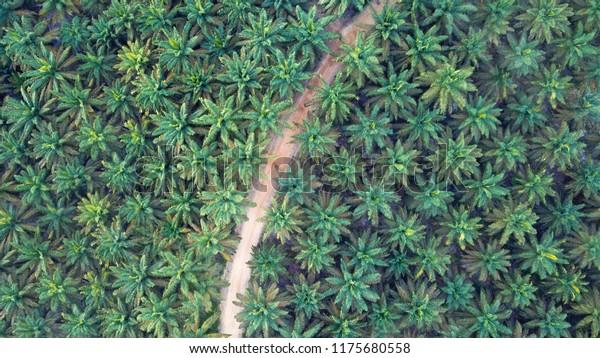 Aerial image of Palm Plantation