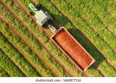 トラクターとトレーラーの空撮画像で、収穫したての熟した赤いトマトが入っています。