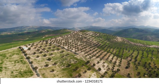 Aerial landscape with plantations of olive trees in the hills in Morocco, Africa