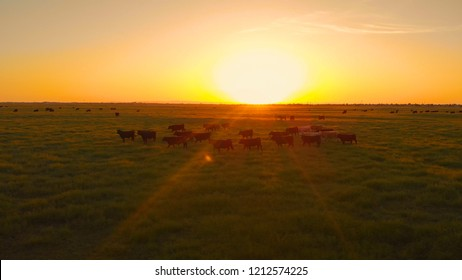 AERIAL, LENS FLARE: Flying above a herd of cows migrating across the vast grassy countryside at idyllic sunset. Warm evening sunlight illuminating the cattle walking around pastures in California.